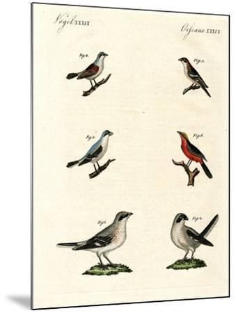 Different Kinds of Shrikes--Mounted Giclee Print