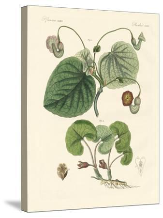Kinds of Aristolochia Plants--Stretched Canvas Print