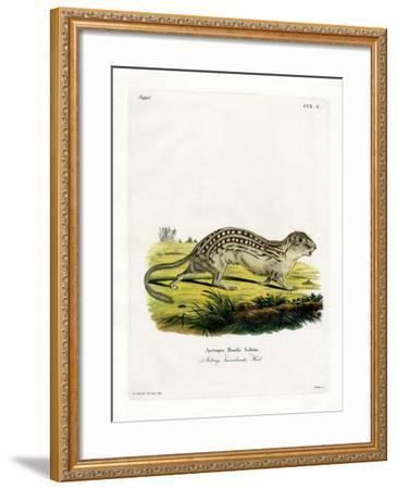 Thirteen-Lined Ground Squirrel--Framed Giclee Print