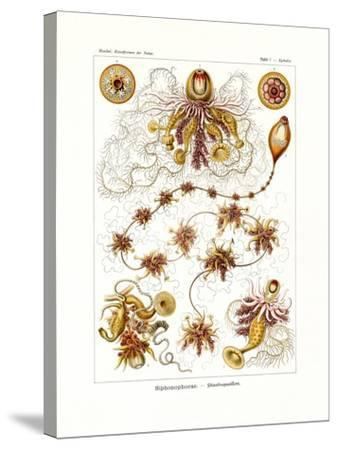Siphonophorae, 1899-1904--Stretched Canvas Print