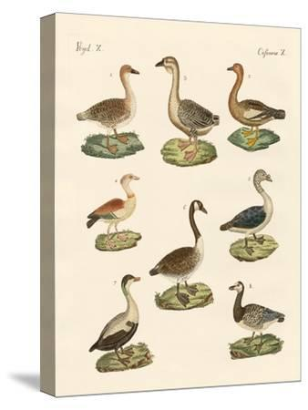 Various Kinds of Geese--Stretched Canvas Print