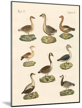 Various Kinds of Geese--Mounted Giclee Print