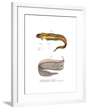 Burrowing Red Bandfish--Framed Giclee Print