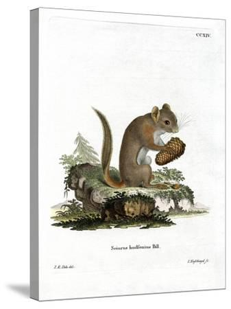 American Red Squirrel--Stretched Canvas Print