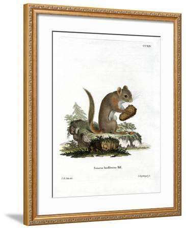 American Red Squirrel--Framed Giclee Print