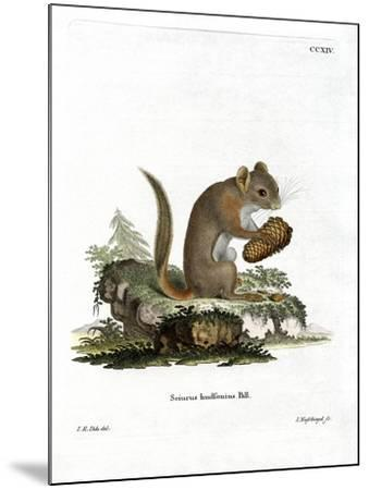 American Red Squirrel--Mounted Giclee Print