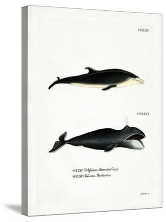 White-Beaked Dolphin--Stretched Canvas Print