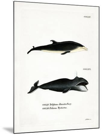 White-Beaked Dolphin--Mounted Giclee Print