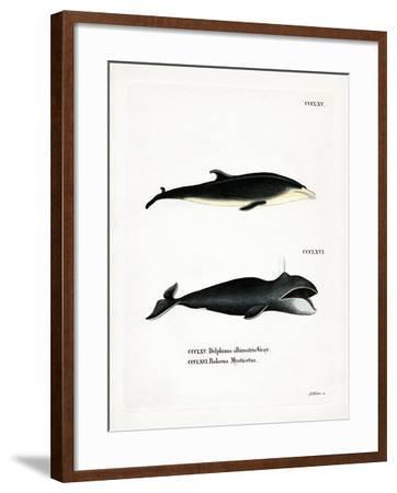 White-Beaked Dolphin--Framed Giclee Print