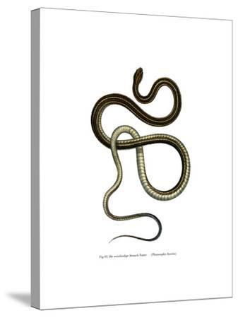 Eastern Ribbonsnake--Stretched Canvas Print