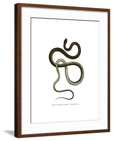 Eastern Ribbonsnake--Framed Giclee Print