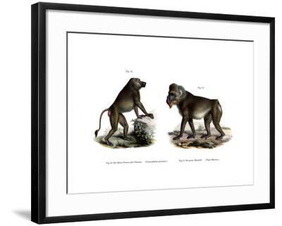 African Baboon, 1860--Framed Giclee Print