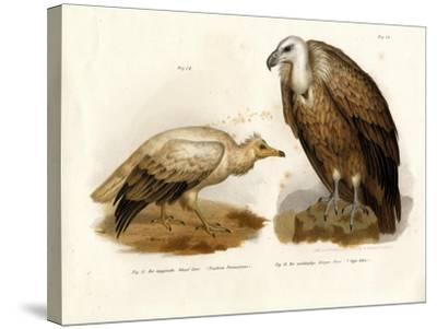 Egyptian Vulture, 1864--Stretched Canvas Print