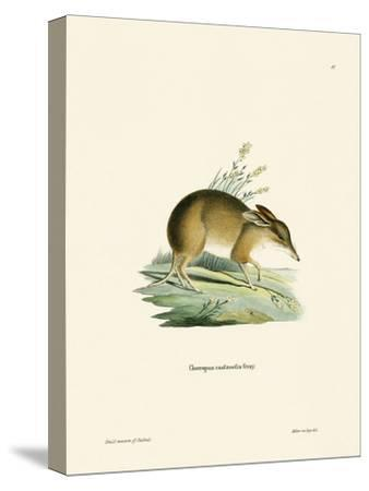 Pig-Footed Bandicoot--Stretched Canvas Print