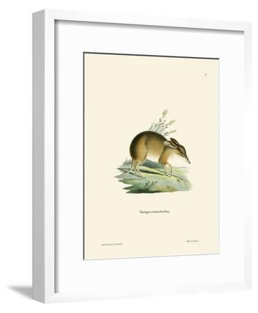 Pig-Footed Bandicoot--Framed Giclee Print