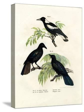 Australian Magpie, 1864--Stretched Canvas Print