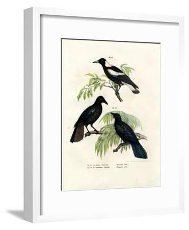 Australian Magpie, 1864--Framed Giclee Print