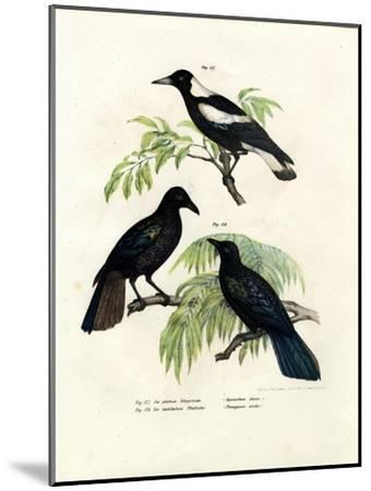 Australian Magpie, 1864--Mounted Giclee Print