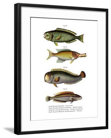 Palecheek Parrotfish--Framed Giclee Print