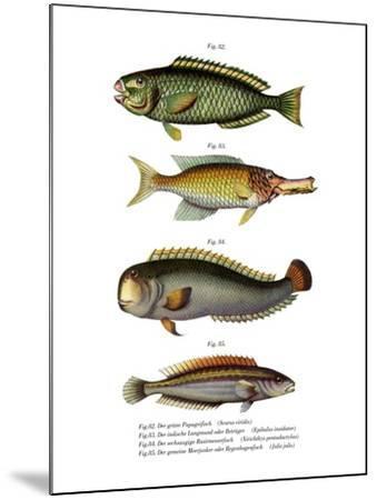 Palecheek Parrotfish--Mounted Giclee Print