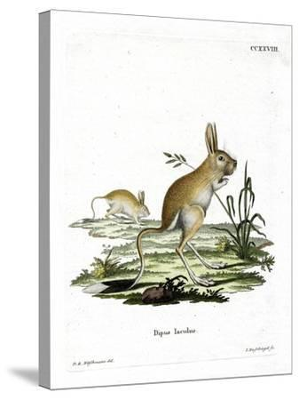 Lesser Egyptian Jerboa--Stretched Canvas Print