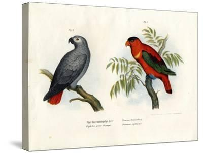 Purple-Naped Lory, 1864--Stretched Canvas Print