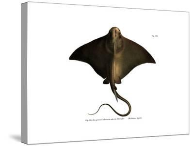 Common Eagle Ray--Stretched Canvas Print