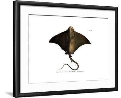 Common Eagle Ray--Framed Giclee Print