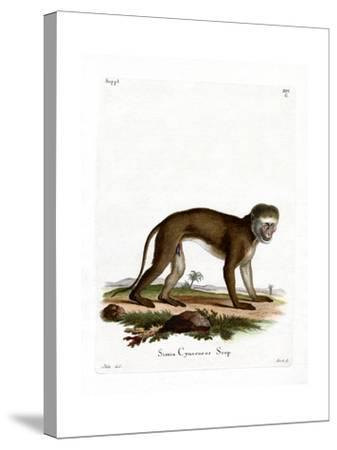 Malbrouck Monkey--Stretched Canvas Print