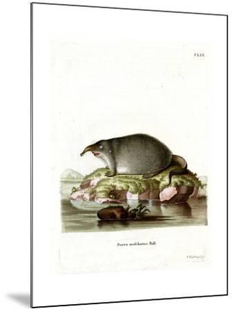 Russian Desman--Mounted Giclee Print