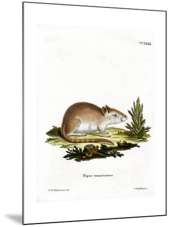 Tamarisk Jird--Mounted Giclee Print