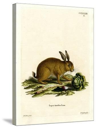 Mountain Hare--Stretched Canvas Print