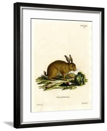 Mountain Hare--Framed Giclee Print