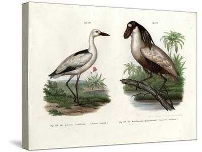 Crab Plover, 1864--Stretched Canvas Print