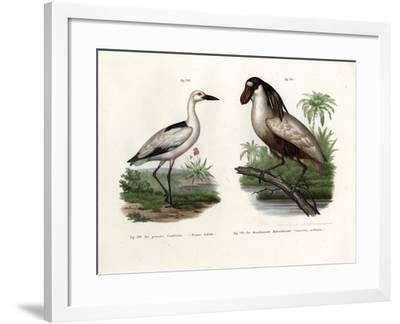 Crab Plover, 1864--Framed Giclee Print