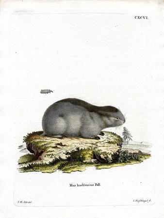 Collared Lemming--Framed Giclee Print