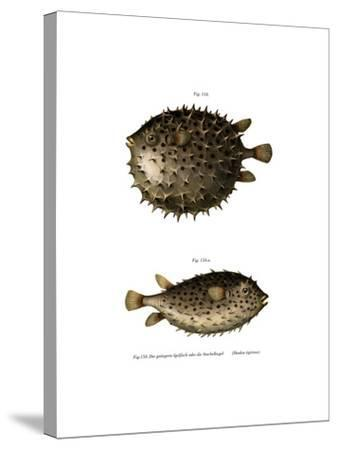 Spotfin Burrfish--Stretched Canvas Print