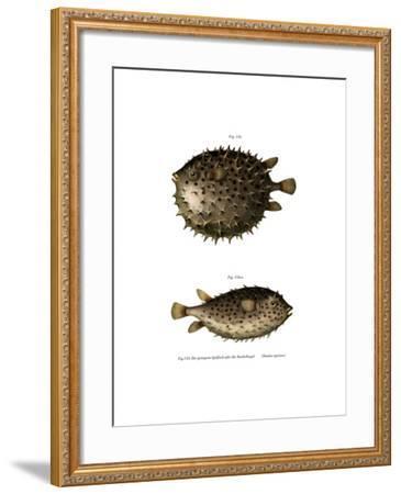 Spotfin Burrfish--Framed Giclee Print