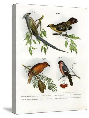 Mousebird, 1864--Stretched Canvas Print