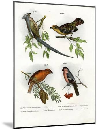Mousebird, 1864--Mounted Giclee Print