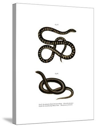 Little File Snake--Stretched Canvas Print