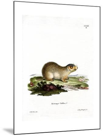 European Souslik--Mounted Giclee Print