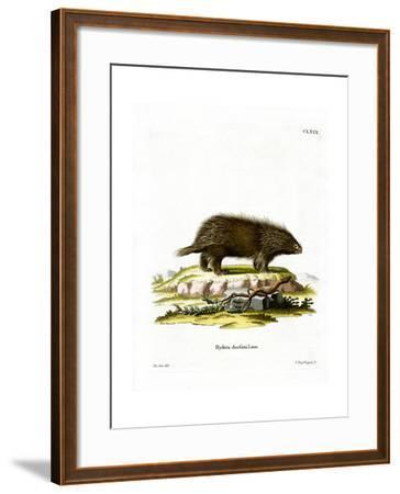 Canadian Porcupine--Framed Giclee Print