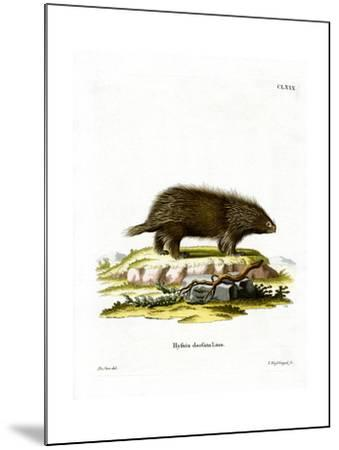 Canadian Porcupine--Mounted Giclee Print