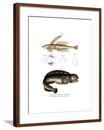 Common Dragonet--Framed Giclee Print