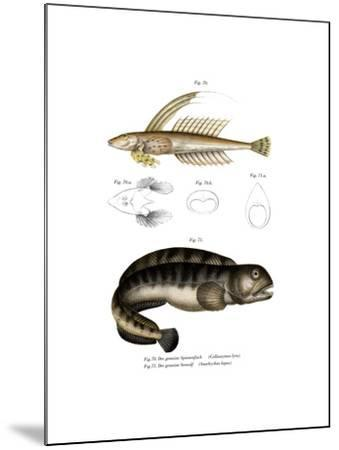 Common Dragonet--Mounted Giclee Print