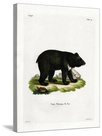 Asian Black Bear--Stretched Canvas Print