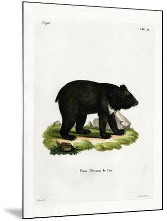 Asian Black Bear--Mounted Giclee Print