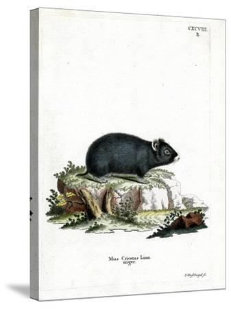 Black Hamster--Stretched Canvas Print
