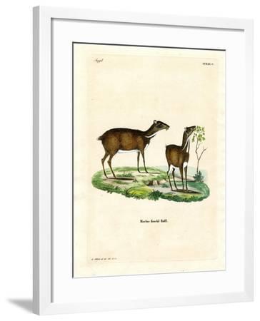 Lesser Mouse Deer--Framed Giclee Print